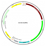 Adenovirus CAG-GCaMP6s (200 µl)