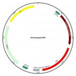 Adenovirus Synapsin-RFP (200 µl)
