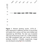Beta-actinMonoclonalAntibody (20 µl)