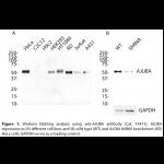 AJUBA Polyclonal Antibody (20 μl)
