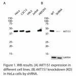 AKT1S1 Polyclonal Antibody (20 μl)