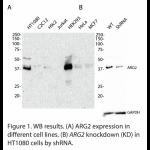 ARG2 Polyclonal Antibody(20 μl)