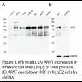 ARNT Polyclonal Antibodies (20 μl)