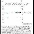 ASS1 Polyclonal Antibody (20 μl)