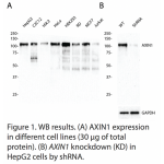 AXIN1 Polyclonal Antibody (20 μl)