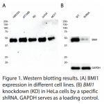 BMI1 Polyclonal Antibody (20 μl)