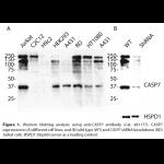 CASP7 Monoclonal Antibody (20 μl)