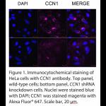 CCN1 Polyclonal Antibody (20 μl)