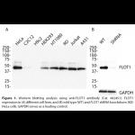 FLOT1 Monoclonal Antibody (20 μl)