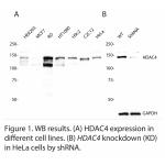 HDAC4 Polyclonal Antibody (20 μl)