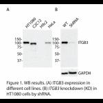 ITGB3 Polyclonal Antibody (20 μl)