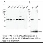 JUN Polyclonal Antibody (20 μl)