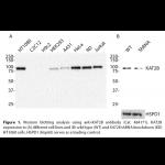 KAT2B Monoclonal Antibody (20 μl)