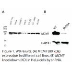 MCM7 Polyclonal Antibody (20 μl)