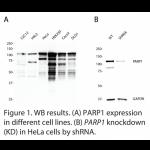 PARP1 Polyclonal Antibody (20 μl)