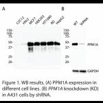 PPM1A Polyclonal Antibody (20 μl)